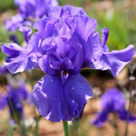 Iris 'Special Feature'