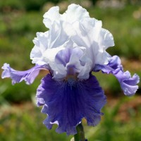 Iris 'Sierra Grande'