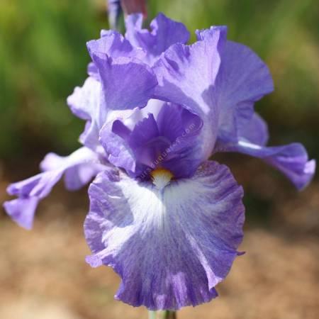 Iris 'Silhouette'