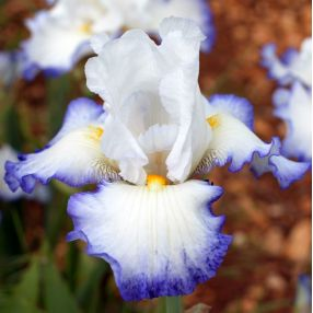 Iris 'Quiberon'