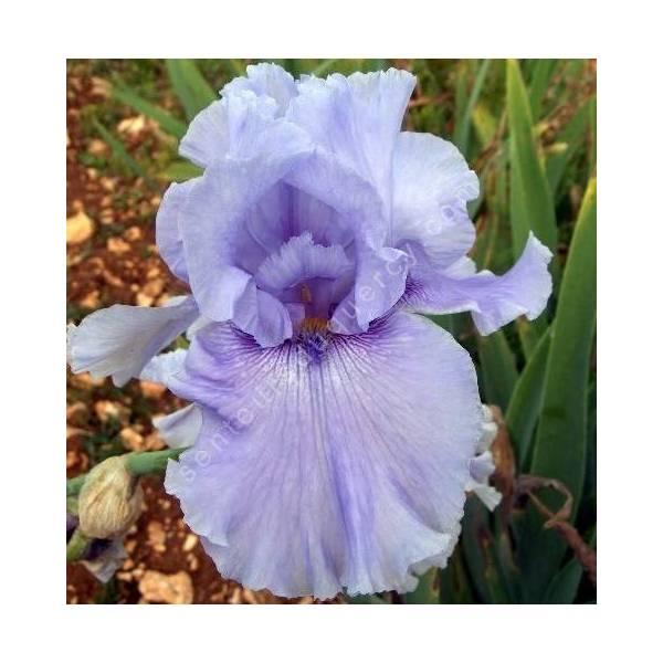 Iris 'Winget Swag'