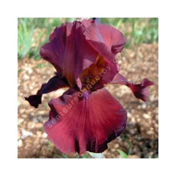 Iris 'Samourai Warrior'
