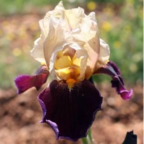 Iris 'Samarcande Grège'