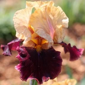 Iris 'Rustic Royalty'