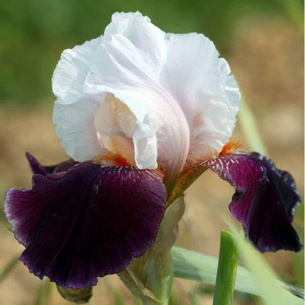 Iris 'Roman Rythm'
