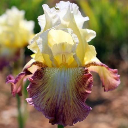Iris 'Leïla'