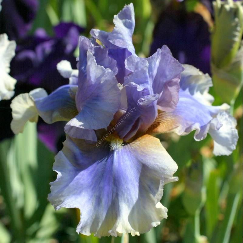 Iris 'Matin et Soir'