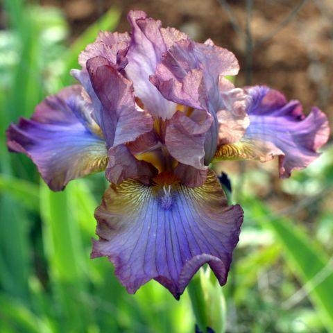 Iris 'Mukaddam'