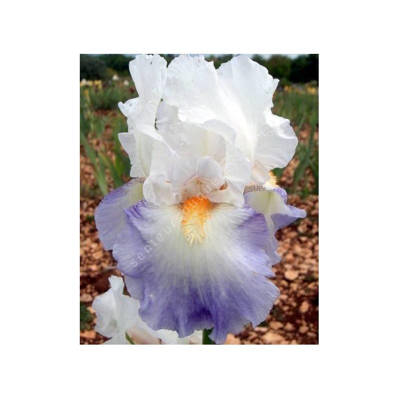 Iris 'Rebecca Perret'