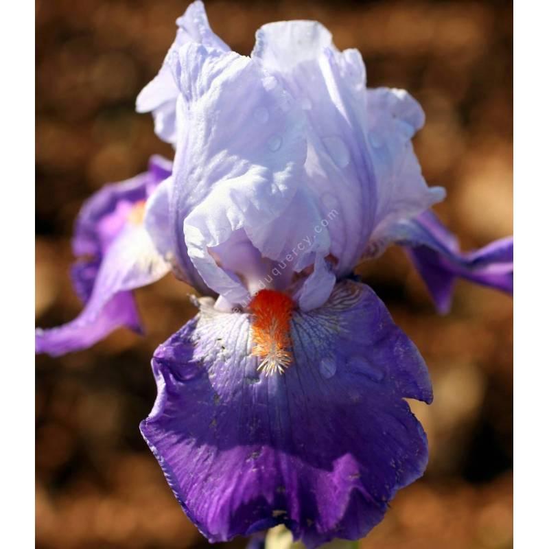 Iris 'Révolution'