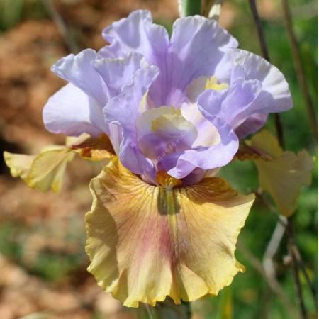 Iris 'Paso Doble'