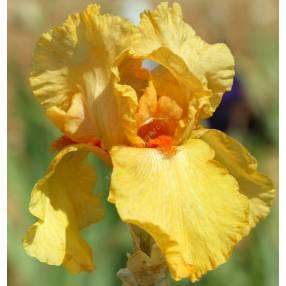 Iris 'Marcel Turbat'