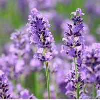 Lavandula angustifolia 'Essence Purple' - Vraie Lavande
