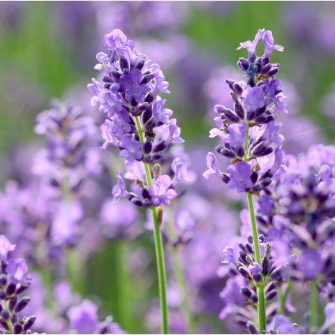lavandula angustifolia 39 ellagance purple 39 lavande fine de jardin sec. Black Bedroom Furniture Sets. Home Design Ideas