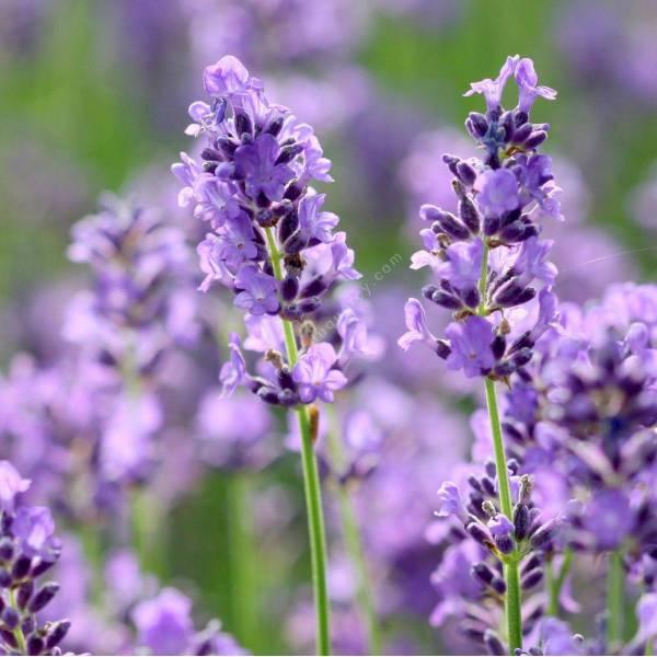 Lavandula angustifolia 'Essence Purple', Vraie Lavande