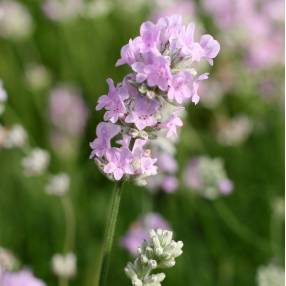 Lavandula angustifolia 'Little Lottie' - Vraie Lavande naine rose