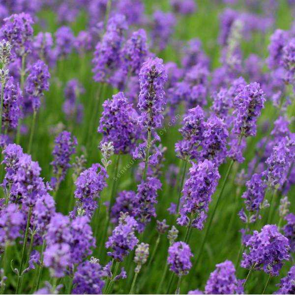 lavandula angustifolia 39 lavenite petite 39 lavande naine pour jardin sec. Black Bedroom Furniture Sets. Home Design Ideas
