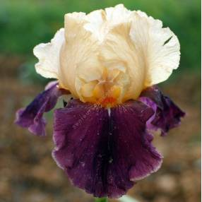 Iris 'Double Espoir'