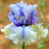 Iris 'Ciels d'Étés'
