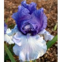 Iris 'Crowned Heads'