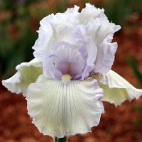 Iris 'Crystal Cathedral'
