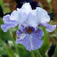 Iris 'Gnu'