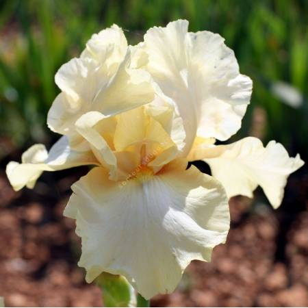 Iris 'Douce Ivoire'