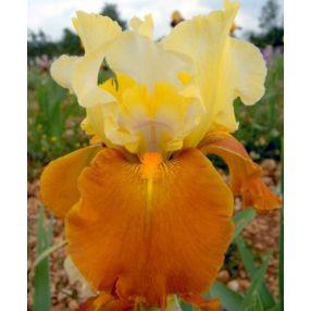 Iris 'Fall Fiesta'