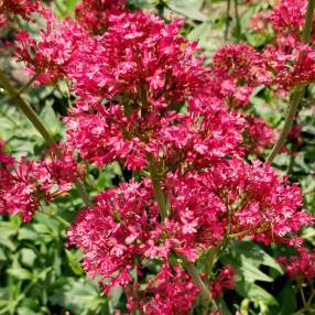 Centranthus ruber 'Coccineus' - Valeriane des murs rouge - Lilas d'Espagne