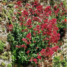 Centranthus ruber 'Coccineus' - Valeriane Des Murs - Lilas d'Espagne