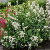 Centranthus ruber 'Albus' - Valériane des murs blanche - Lilas d 'Espagne