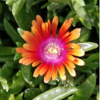 Delosperma 'Fire Spinner' - Pourpier vivace orange