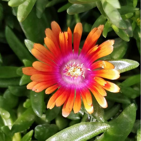 Delosperma 'Fire Spinner' - Pourpier vivace orange