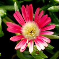 Delosperma 'Red Mountain' - Pourpier vivace rouge