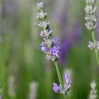 Lavandula x intermedia 'Grappenhall' - Lavandin lilas