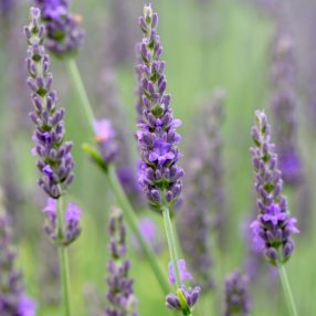 Lavandula x intermedia 'Impress Purple', Lavandin