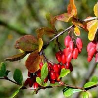 Berberis vulgaris - Epine-vinette