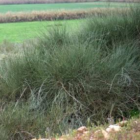 Ephedra fragilis - Grand éphédra