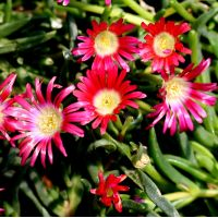 Delosperma 'Red Mountain' - Pourpier vivace rouge corail
