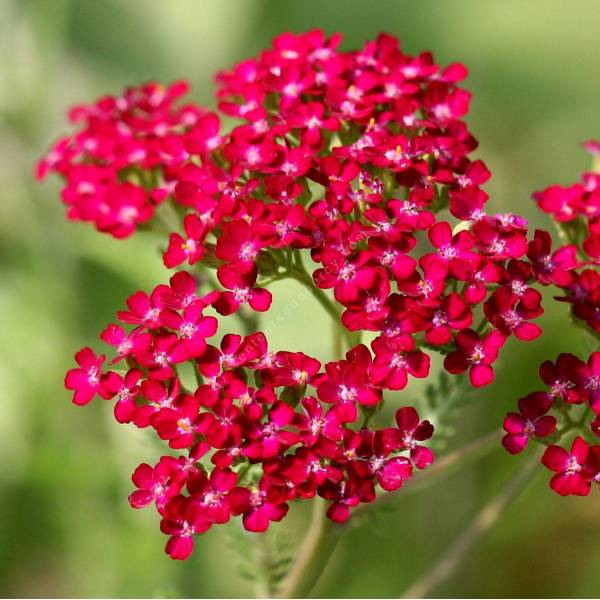 Achillea millefolium 'Cassis' - Achillée millefeuille rouge