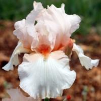 Iris 'Rive Gauche'