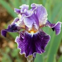 Iris 'Spirit World'