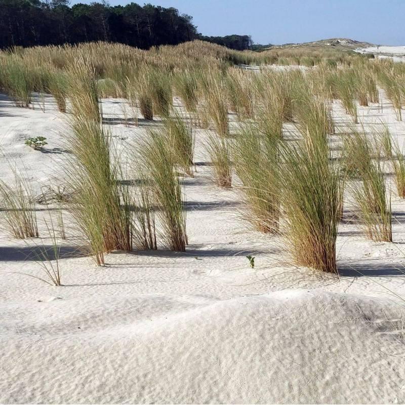 Ammophila arenaria - Oyat des dunes
