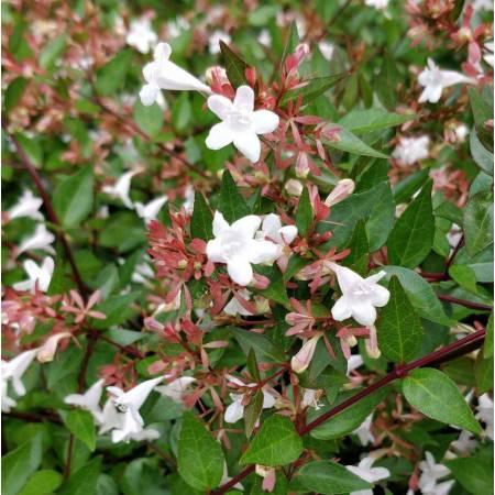 Abelia x grandiflora - Abélie à grandes fleurs