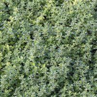 Thymus 'Silver Queen' - Thym citron panaché