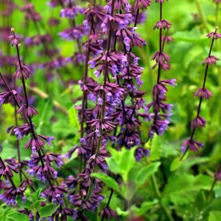 Salvia verticillata 'Hannay's Blue' - Sauge verticillée compacte