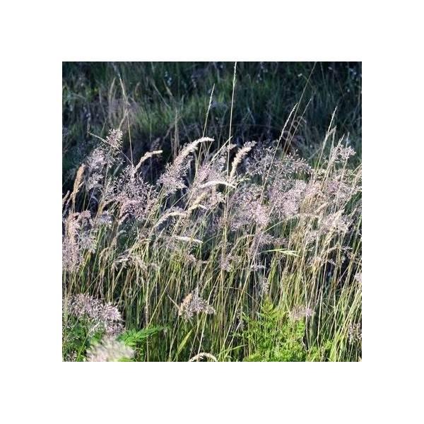 Calamagrostis varia - Calamagrostide bigarrée