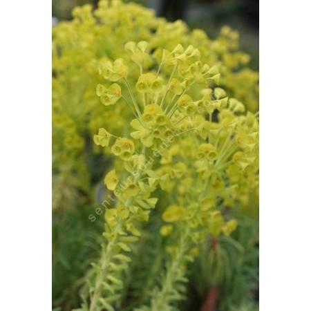 Euphorbia characias subps. wulfenii