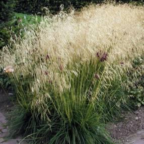 Deschampsia cespitosa 'Goldschleier' - Canche cespiteuse