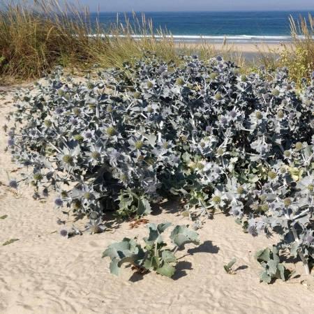 Eryngium maritimum - Chardon des dunes